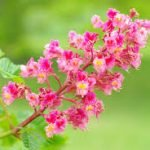 red-chesnut-fleur
